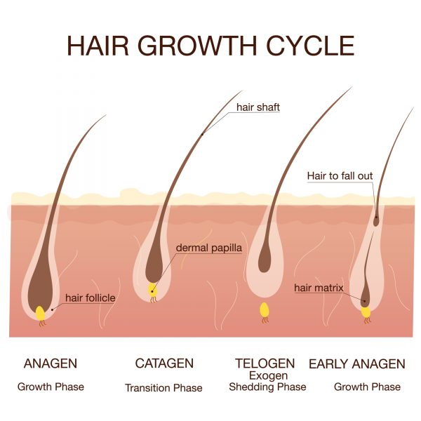 human hair growth cycle diagram